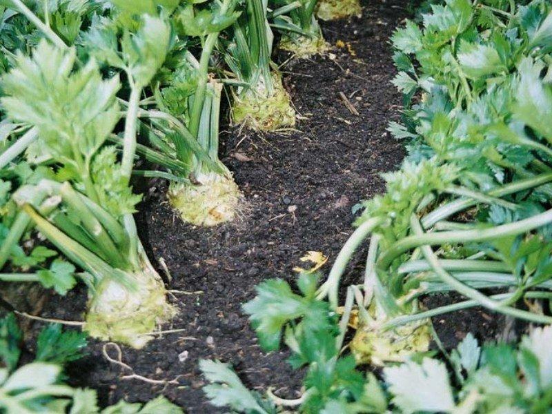 Полезные свойства сельдерея для здоровья и возможный вред