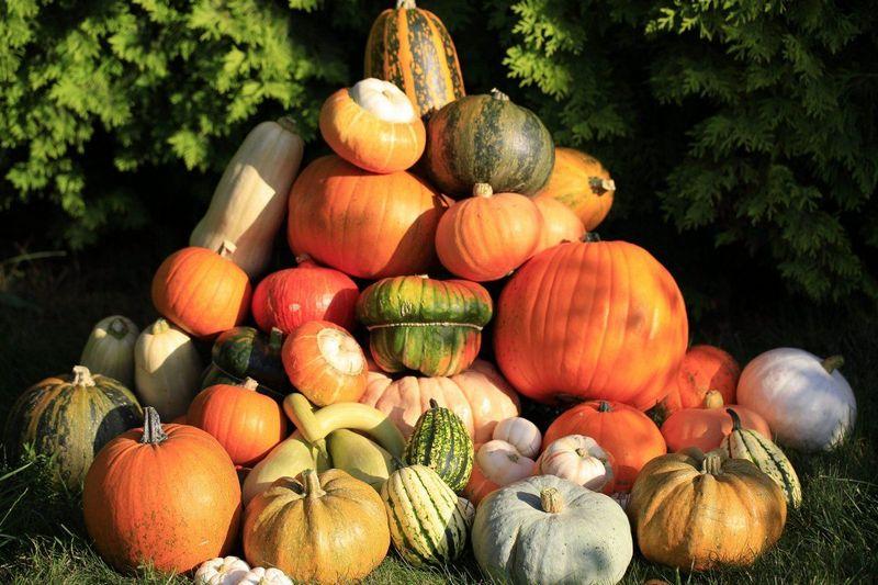 Польза тыквы для здоровья и вредные свойства