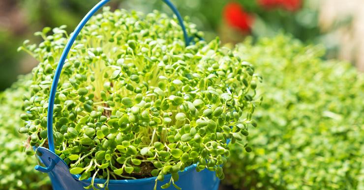 Чем полезна микрозелень для здоровья?